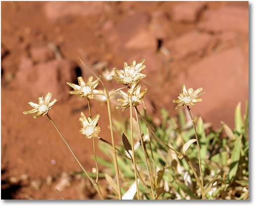 Naturally dried flowers at Canyonlands National Park