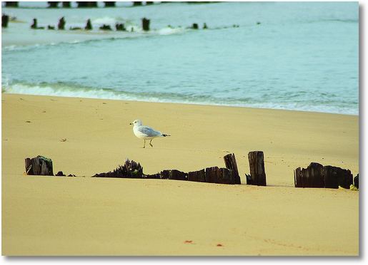 Seagull on shore, Cheasapeake Bay