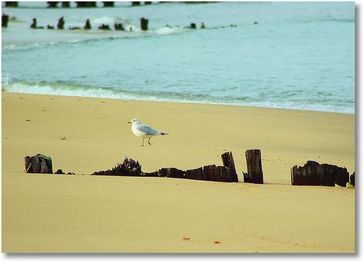Seagull on shore, Cheasapeake Bay