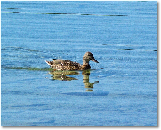 Duck swimming in clear water of Green Bay at Peninsula State Park, Wisconsin
