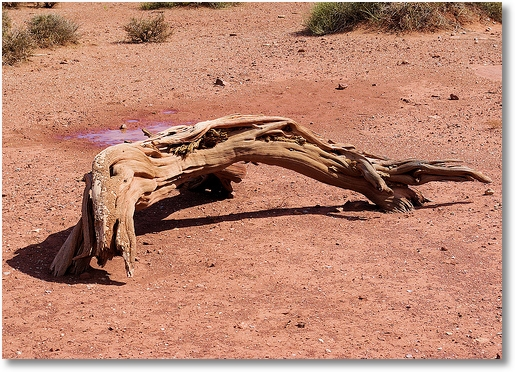 gnarled and twisted wood -- Canyonlands National Park