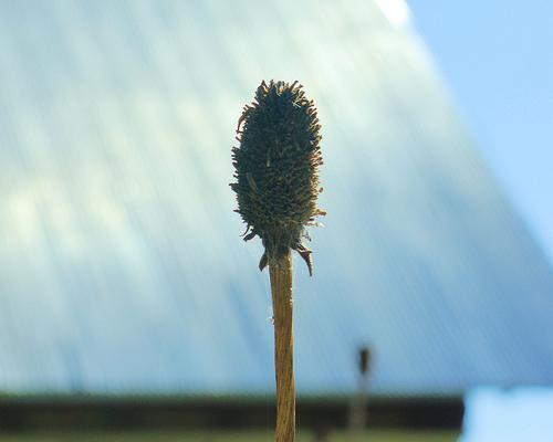 Dried flower head at Visitor Center, Upper Mesa Falls, Idaho, September 2007