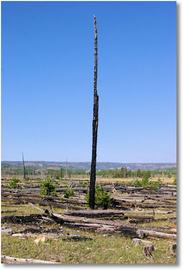 1988 fire damage in Yellowstone National Park