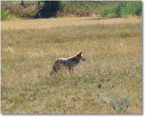 coyote on blacktail plateau