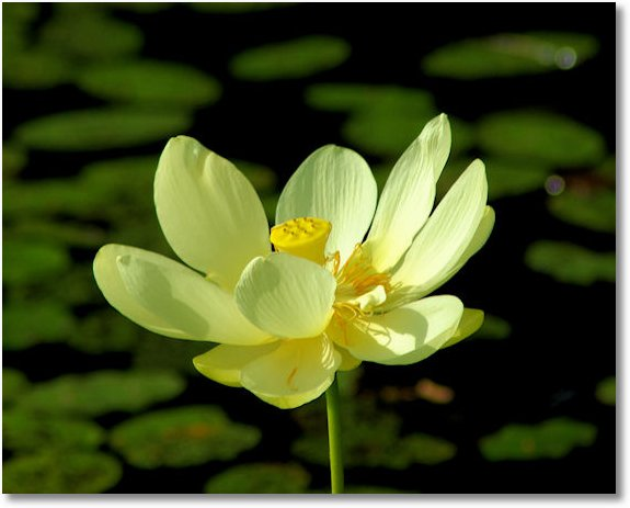 04-water lilly blossom