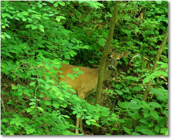 white tail deer, Mammoth Cave National Park, Kentucky 5-25-09