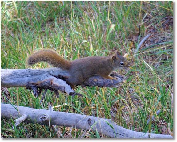 Squirrel along Mud Volcano Loop Trail, Yellowstone National Park, Wyoming 9-15-07