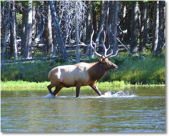 Bull Elk in Madison River, Yellowston National Park, Wyoming