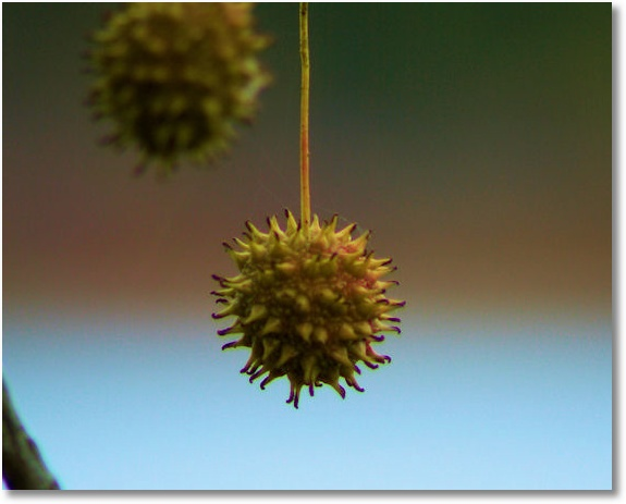 Sweet Gum Fruit, Petit Jean State Park, Arkansas