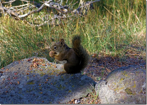 Red Squirrel, Yellowstone National Park - September 15, 2007