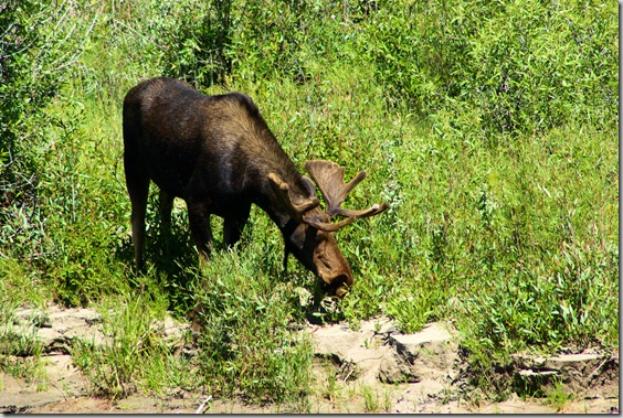 A Moose at Moose, Wyoming, On the bank of the Snake River Across from Park Headquarters