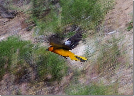 Male Bullock's Oriole, Pathfinder Reservoir, Wyoming