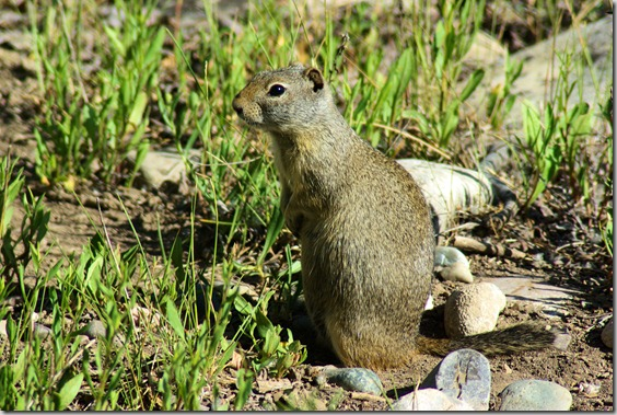 Uinta ground squirrel in the Gros Ventre Campground in Grand Teton National Park, Wyoming