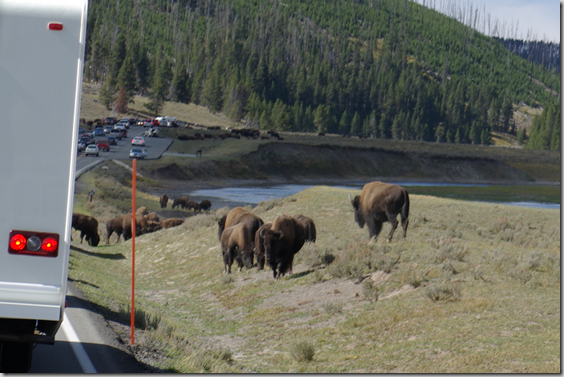 Buffalo traffic jam in Hayden Valley, Yellowstone National Park
