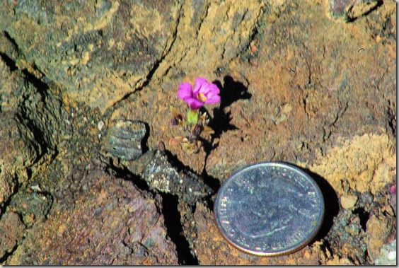 dwarf monkey flower at Craters of the Moon in Idaho
