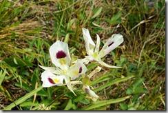 Sego Lily, Calochortus nuttallii, the state flower of Utah.